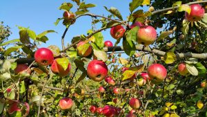 Apple Tree Day